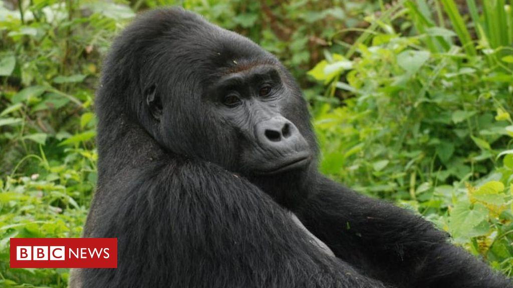 Photo of Killer of Rafiki, Uganda's rare silverback mountain gorilla, jailed
