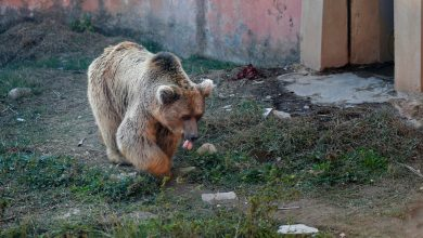 Photo of Sickly dancing bears to be transported from notorious Pakistani zoo to new life in Jordan