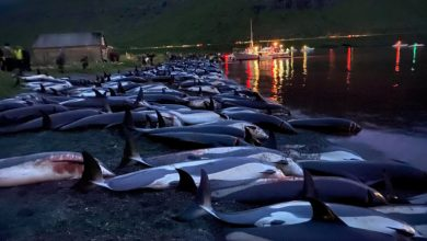 Photo of Faroe Islands: Anger over killing of 1,400 dolphins in one day